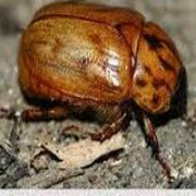 NEW TURF GUIDE PEST ARGENTINE SCARAB.jpg
