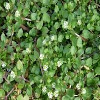 NEW TURF GUIDE WEED COMMON CHICKWEED.jpg